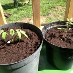 Tomatoes 2.6.13